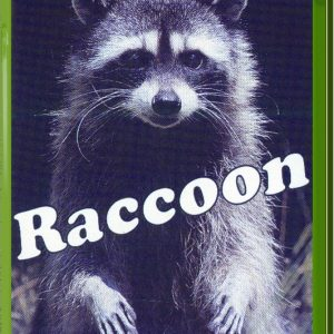 ראקון - דביבון היער Raccoon